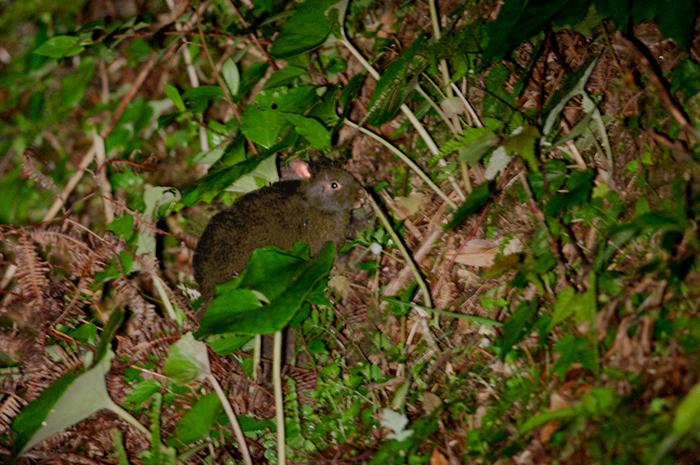 アマミノクロウサギの画像 p1_27
