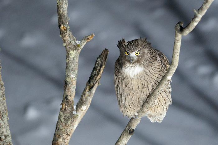 枝につかまって獲物を狙うシマフクロウ